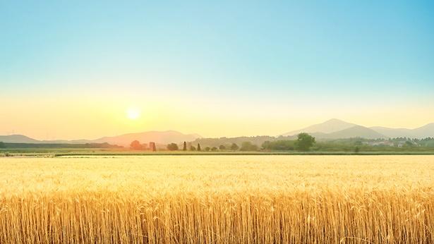 ¿Cuál es la diferencia entre el trigo y la cizaña?
